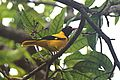 Black hooded Oriole - 1.jpg