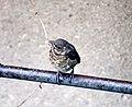 Blackbird (Amsel) chick.jpg