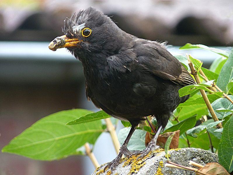 File:Blackbird (male) J1.JPG