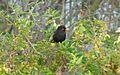 Blackbird Rabat2.jpg