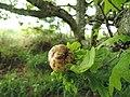 Blairgowrie, Darroch Wood, oak apple, 01.jpg