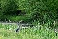 Blauwe Reiger - Grey Heron (8724648446).jpg