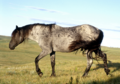 Blue-Moon-Roan-Nokota-Stallion-2.png
