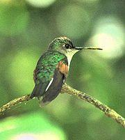 Blue-capped Hummingbird-edited