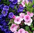 Blue Canterbury Bells & Pink Lavatera Flowers.jpg