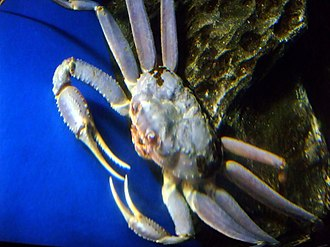 Chionoecetes opilio - Blue snow crab (typically more reddish in color)