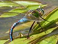Blue Emperor. (Laying Female). Anax Imperator - Flickr - gailhampshire.jpg