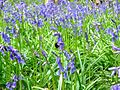 Bluebell flower with bee.jpg