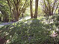Bluebells, Castle Hill Woods - geograph.org.uk - 421114.jpg