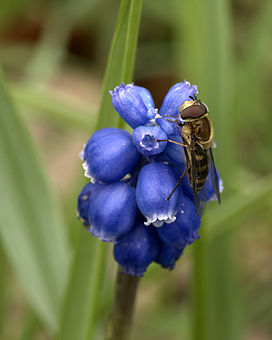 Bluebells And A Syrphid Fly.jpg