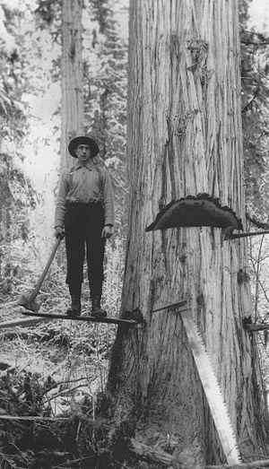 Adams River (British Columbia) - Logger falling a Western red cedar on the Upper Adams, c.1910