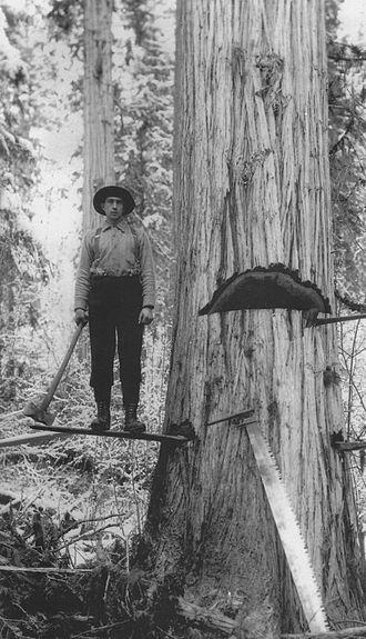 Adams River (British Columbia) - Logger falling a Western red cedar on the Upper Adams, c.1910