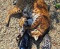 Bobcat at my feet (3912923609).jpg