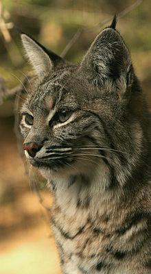 La vie du Lynx roux dans LYNX 220px-Bobcat_lynx_rufus