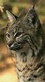 Bobcat lynx rufus.jpg