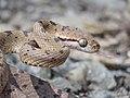 Boiga - Cat Snake IMG 0997.jpg