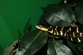 Boiga Denrophila Captive01.png