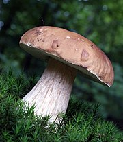 https://upload.wikimedia.org/wikipedia/commons/thumb/8/82/Boletus_edulis_2_2008.JPG/180px-Boletus_edulis_2_2008.JPG
