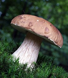 https://upload.wikimedia.org/wikipedia/commons/thumb/8/82/Boletus_edulis_2_2008.JPG/220px-Boletus_edulis_2_2008.JPG