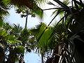 Borassus aethiopum 0092.jpg
