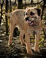 Border terrier whiskey.jpg