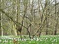 Bosanemonen (Anemone nemorosa) - Dr. Jac. P. Thijssepark - Amstelveen (5558248809).jpg