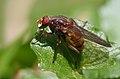 Brachyopa dorsata, Forêt de Soignes, Bruxelles (40632512095).jpg