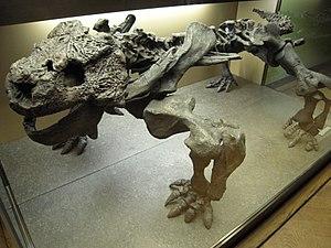 Parareptilia - Skeleton of a parareptile (Bradysaurus baini)