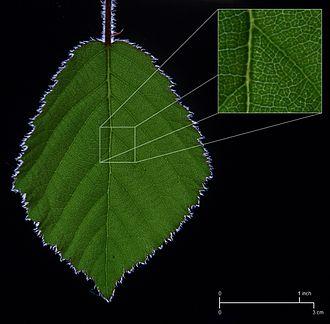 Vascular tissue - Detail of the vasculature of a bramble leaf.