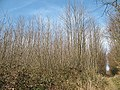 Bridleway through a coppice, Livesey Street - geograph.org.uk - 1222157.jpg