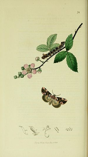 Peach blossom - Illustration from John Curtis's British Entomology Volume 5