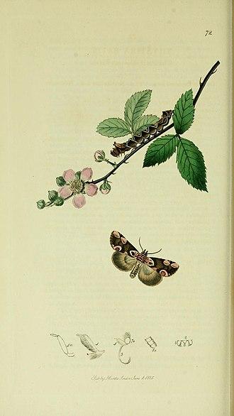 Peach blossom - Illustration from John Curtis's British Entomology Volume 5