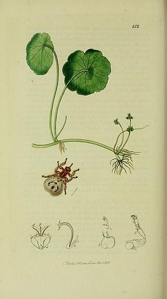 Melophagus ovinus - Melophagus ovinus illustration from British Entomology