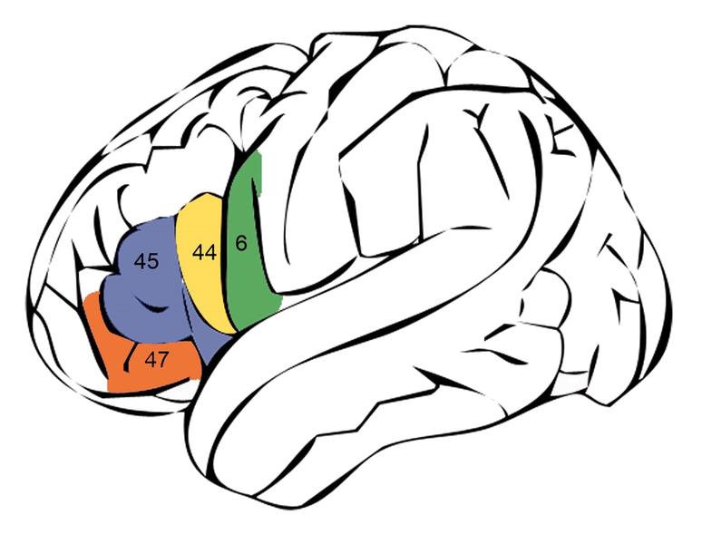 File:Broca's area and adjacent cortex.png