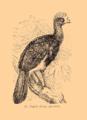 Brockhaus and Efron Encyclopedic Dictionary b33 074-0- 17 - Crax alector.png