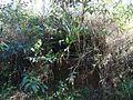 Bromélia em toco 2.jpg