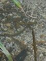 Brook Lampreys nesting - Lampetra planeri 1.jpg