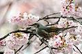 Brown-eared Bulbul Sakura.jpg