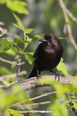 Brown-headed Cowbird - Beaumaris Lake (5789060968).jpg