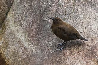 Brown dipper - C. pallasii tenuirostris from Lingtam hamlet of Sikkim, India.