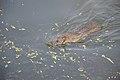 Brown Rat Swimming Across Santragachi Jheel - Howrah 2017-12-25 5623.JPG