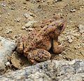 Brown Toad 3.jpg