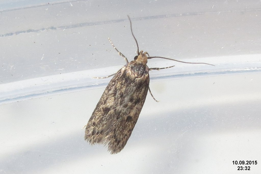 Brown house-moth (FG) (24736804959)