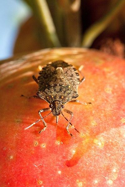 File:Brown marmorated stink bug feeding on apple.jpg