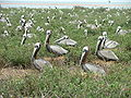 Brown pelicans on Breton.jpg