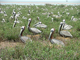 Breton National Wildlife Refuge - Brown pelicans on Breton island, 3 May 2010, as oil spill approaches. Oil containment boom in background.