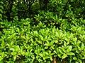 Bryophyllum pinnatum by Dr. Raju Kasambe DSCN7597 (1).jpg