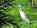Bubulcus ibis ibis - non-breeding plumage - Niger.jpg