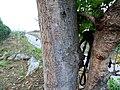 Buchanania axillaris (Cuddapah Almond) 07.jpg