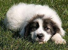 Bucovina Shepherd Dog Wikipedia